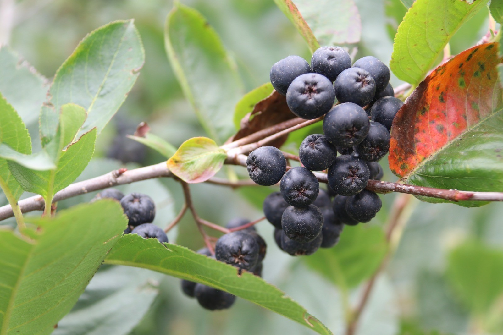 Trabzon'da süper meyve 'Aronya'nın hasadı başladı