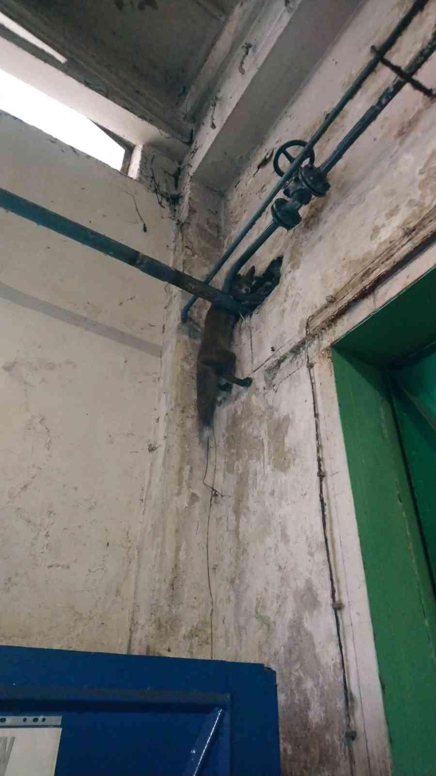 Polonya'da fabrikaya giren tilki duvarla boru arasına sıkıştı